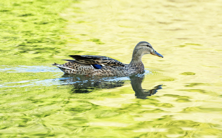 anas platyrhynchos: Mallard duck - Anas platyrhynchos - swims in yellow-green water. Bird scene. Reflections in water. Beauty in nature. Animal theme. Stock Photo