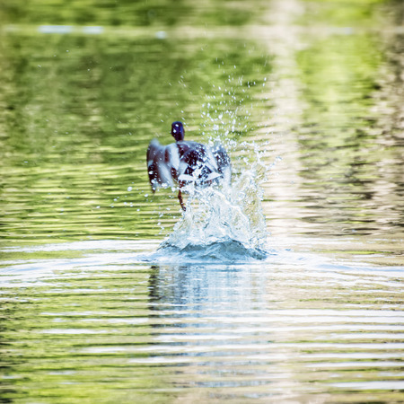 palmiped: Mallard duck - Anas platyrhynchos - fly out of water. Bird scene. Beauty in nature. Reflections in water. Splash water. Animal theme.