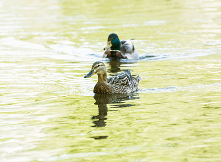 palmiped: Pair of Mallard duck - Anas platyrhynchos - in yellow water. Bird scene. Reflections in water. Beauty in nature. Animal theme.