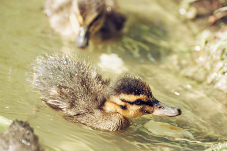 anas platyrhynchos: Mallard ducklings - Anas platyrhynchos - in the water. Birds scene. Beauty in nature. Young ones. Detailed natural scene. Animal theme. Stock Photo