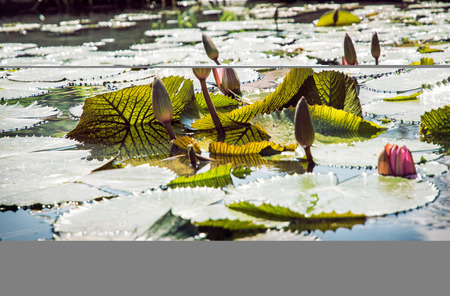 aquatic herb: Beautiful water lilies - Nymphaeaceae - in the garden pond. Seasonal natural background. Backlight scene. Beauty in nature.