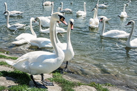 waterfowl: Beautiful Swans � Cygnus. Birds scene. Waterfowl on the lake shore. Beauty in nature. Animal theme.