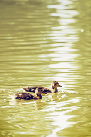 Two little Mallard ducklings – Anas platyrhynchos. Bird scene. Beauty in nature. Reflections in water. Young ones. Dabbling duck. Animal theme.