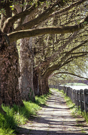 sidelight: Alley of sycamore tree and retro railing. Footpath scene. Park scene. Romantic place. Vertical composition. Massive trees.