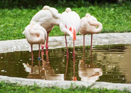long feet: Group of Greater flamingos - Phoenicopterus ruber roseus - in outdoors. Animal scene.