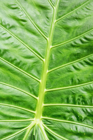 photosynthetic: Background of green tropical leaf. Detailed natural scene. Vibrant colors. Beauty in nature. Vertical composition. Stock Photo