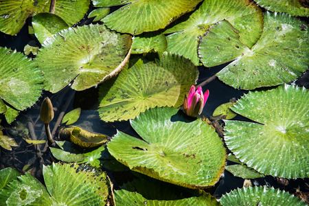 aquatic herb: Beautiful purple water lily - Nymphaeaceae - in the garden pond. Seasonal natural background. Beauty in nature. Aquatic herb.