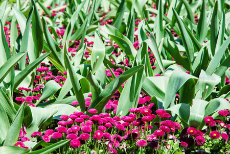 vibrant color: Pink English daisies - Bellis perennis - with big green leaves in spring park. Seasonal natural scene. Bellasima rose. Vibrant color. Stock Photo