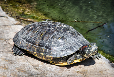 terrapin: Red-eared slider - Trachemys scripta elegans - basking on the stone. Animal scene. Aquatic terrapin. Beauty in nature.
