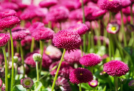 vibrant color: Pink English daisies - Bellis perennis - in spring park. Detailed seasonal natural scene. Bellasima rose. Close up nature. Vibrant color.