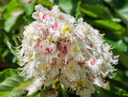 pistils: Horse-chestnut flowers and leaves. Detailed natural scene. Beauty in nature. Petals and pistils.