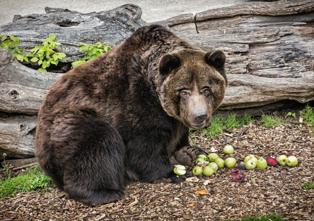 beaty: Brown bear - Ursus arctos arctos - posing and eating green apples. Animal theme. Teddy bear. Humorous scene. Beaty in nature.
