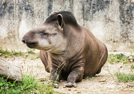 animal species: South American tapir - Tapirus terrestris - also know as Brazilian tapir and Lowland tapir. Endangered animal species. Beauty in nature. Animal portrait.