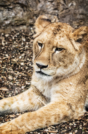 endangered species: Portrait of a Barbary lion - Panthera leo leo. Animal portrait. Lioness closeup. Atlas lion. Beauty in nature. Critically endangered species.