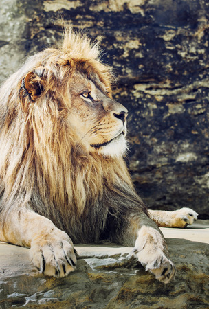 endangered species: Portrait of a Barbary lion (Panthera leo leo). Animal scene. Critically endangered species. Vertical scene. Big cat.