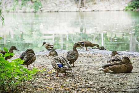 palmiped: Group of wild mallard ducks on the lake shore. Animal scene. Beauty in nature. Seasonal natural scene.