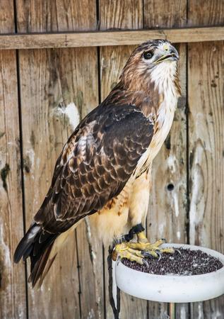 aigle royal: Golden eagle - Aquila chrysaetos - grand oiseau de proie. sc�ne des animaux. esp�ces animales prot�g�es. Beaut� dans la nature.