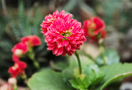 herbaceous: Detail photo of red Dahlia flower. Natural scene. Beauty in nature. Herbaceous perennial plant.
