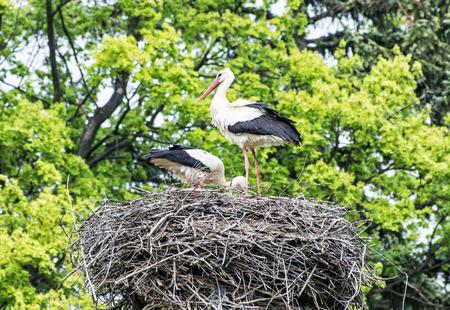 bird watching: Family of White stork - Ciconia ciconia - in the nest. Animal scene. Bird watching. Seasonal natural scenery. Beauty in nature. Red beak. Birds nest.