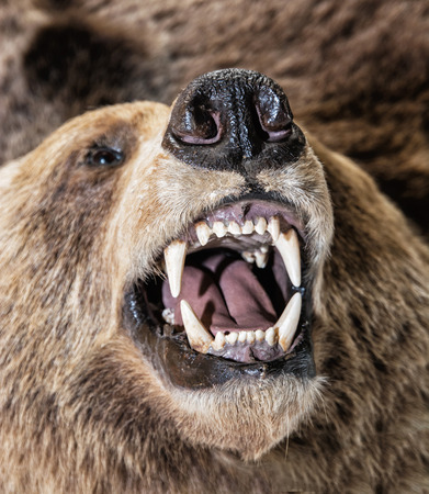 Real stuffed Brown bear - Ursus arctos arctos - exposed in natural history museum. Animal theme. Educational object.