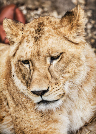 endangered species: Portrait of a Barbary lion - Panthera leo leo. Animal portrait. Lioness closeup. Atlas lion. Critically endangered species. Animal background.