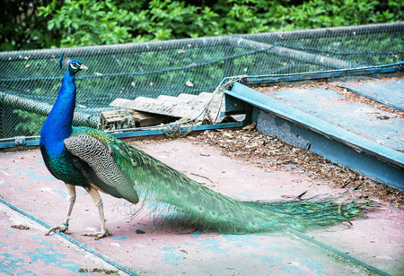 showoff: Beautiful Indian peafowl - Pavo cristatus - male (peacock) walking on the roof. Vibrant colors. Beauty in nature. Coloured bird. Head with crown.
