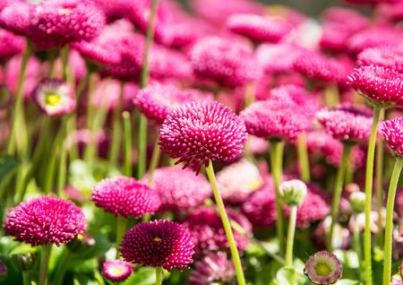 vibrant color: Pink English daisies - Bellis perennis - in spring park. Detailed seasonal natural scene. Bellasima rose. Beauty in nature. Vibrant color.