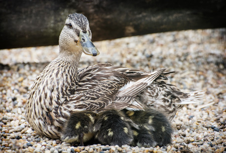 youngs: Wild duck with youngs. Animal scene. Spring natural theme. Detail photo. Beauty in nature. Ducklings with mother. Stock Photo