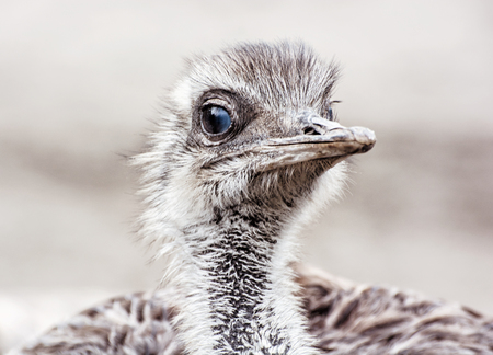ratite: Emu - Dromaius novaehollandiae - is the second-largest living bird by height, after its ratite relative, the ostrich. Bird portrait. Beauty in nature. Flightless bird. Close up emu.
