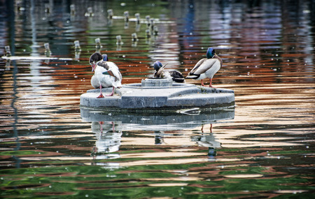 palmiped: Mallard ducks - Anas platyrhynchos - resting on an islet in the middle of the lake. Bird scene. Beauty in nature. Animal theme. Reflections in water. Group of drakes.