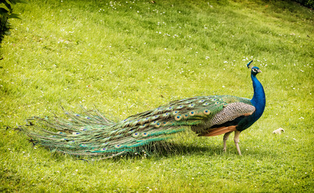 showoff: Beautiful Indian peafowl - Pavo cristatus - male (peacock) walking in the green meadow. Vibrant colors. Beauty in nature. Coloured bird. Head with crown.
