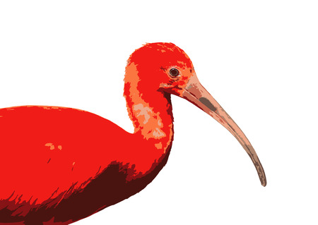 wading: Scarlet ibis - Eudocimus ruber - is a species of ibis in the bird family