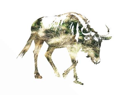 taurinus: Silhouette of Blue wildebeest - Connochaetes taurinus filled with dried grass scheme.
