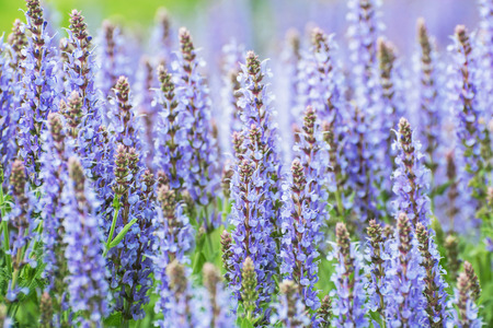 lamiales: Salvia officinalis (Sage, also called Garden sage or Common sage) is a perennial, evergreen subshrub. Seasonal natural background. Beauty in nature. Stock Photo