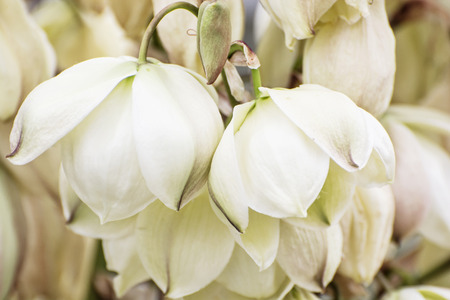 chaparral: Background of Hesperoyucca whipplei flowers. Chaparral yucca, Our Lords candle, Spanish bayonet, Quixote yucca or Foothill yucca is a species of flowering plant. Beauty in nature.