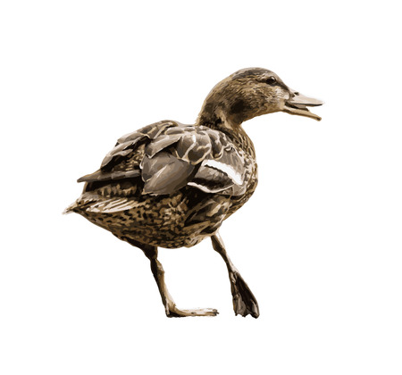 feathering: Wild mallard duck with the broken leg. Duck in picture. Symbolic natural drawing.