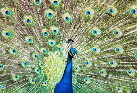 vibrant colors: Indian peafowl or Blue peafowl - Pavo cristatus - a large and brightly coloured bird, is a species of peafowl native to South Asia, but introduced in many other parts of the world. Male (peacock) displaying. Animal scene. Vibrant colors.