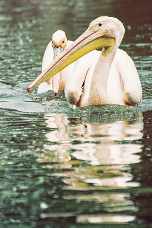 big bird: Group of Great white pelican - Pelecanus onocrotalus - are reflected on the shimmering lake. Big bird. Animal scene. Photo filter. Beauty in nature. Bird portrait.