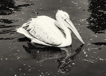 pelecanus onocrotalus: Great white pelican - Pelecanus onocrotalus - is reflected on the shimmering lake. Big bird. Animal scene. Black and white photo. Beauty in nature. Bird portrait. Stock Photo