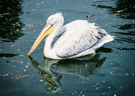 big bird: Great white pelican - Pelecanus onocrotalus - is reflected on the shimmering lake. Big bird. Blue photo filter. Animal scene. Beauty in nature. Bird portrait. Stock Photo