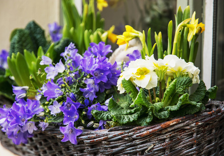 springtime: Bluebells and yellow daffodils in the wicker basket. Symbol of springtime. Gardening theme. Natural decoration. Vibrant colors.