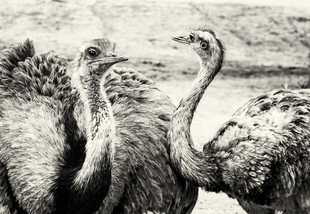 ratite: Pair of Emu birds - Dromaius novaehollandiae. Emu is the second-largest living bird by height, after its ratite relative, the ostrich. Black and white photo. Bird portrait. Beauty in nature. Flightless bird.