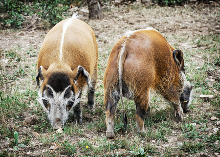 bush hog: Pair of Red river hog - Potamochoerus porcus. Animal scene. Beauty in nature. Stock Photo