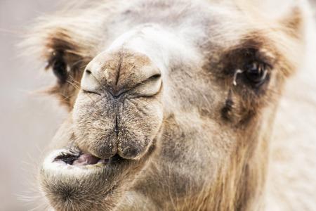 munch: Bactrian camel - Camelus bactrianus - humorous closeup portrait. Animal scene. Beauty in nature. Stock Photo
