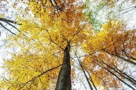 yellow trees: Big yellow trees. Autumn scene. Colorful november. Seasonal natural background. Stock Photo