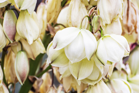 flowering plant: Background of Hesperoyucca whipplei flowers. Chaparral yucca, Our Lords candle, Spanish bayonet, Quixote yucca or Foothill yucca is a species of flowering plant. Beauty in nature. Macro photo.