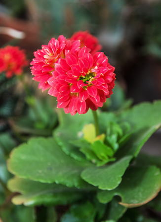 perennial plant: Detail photo of red Dahlia flower. Natural scene. Beauty in nature. Herbaceous perennial plant. Vertical composition. Stock Photo