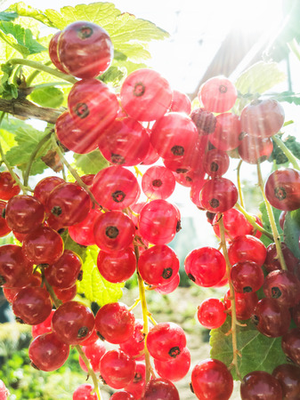 Juicy red currants in the garden. Fruit picking. Healthy food. Sun rays. Vibrant colors. Seasonal natural scene. Banco de Imagens