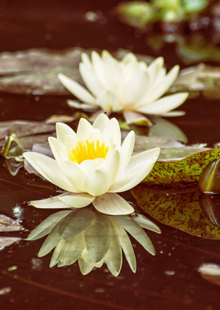 garden pond: Yellow water lily - Nymphaeaceae - in the garden pond. Aquatic herb. Beautiful photo filter. Seasonal natural background. Beauty in nature. Water lilies. Stock Photo