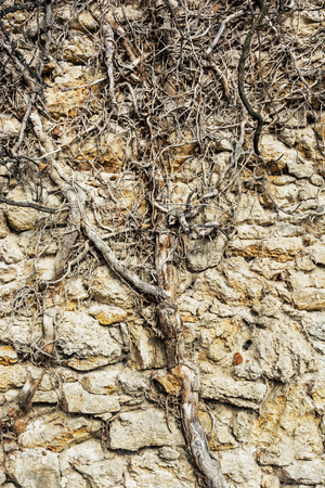 vertical composition: Old stone wall and tree roots. Outdoor retro scene. Vertical composition.